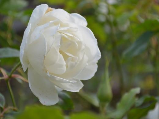 20151129_一休さんのバラ花壇9