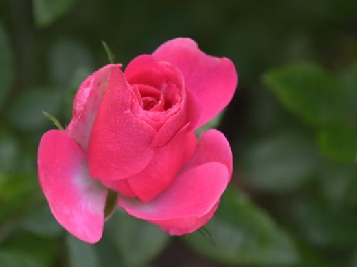 20151129_一休さんのバラ花壇15