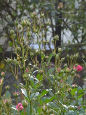 20151129_一休さんのバラ花壇17