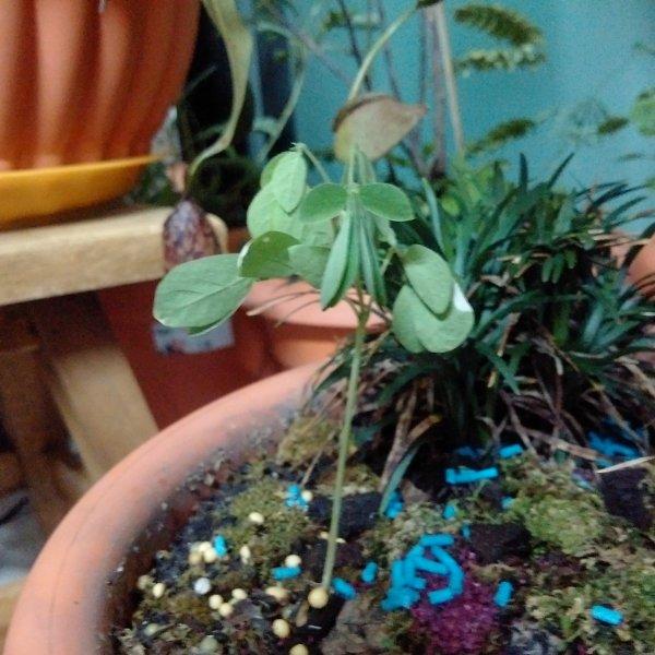 バンコク 植木