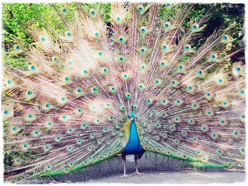 140524animal peacock5