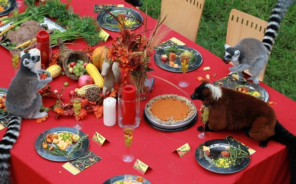 1126lemurs-enjoy-thanksgiving-feast-at-san-francisco-zoo