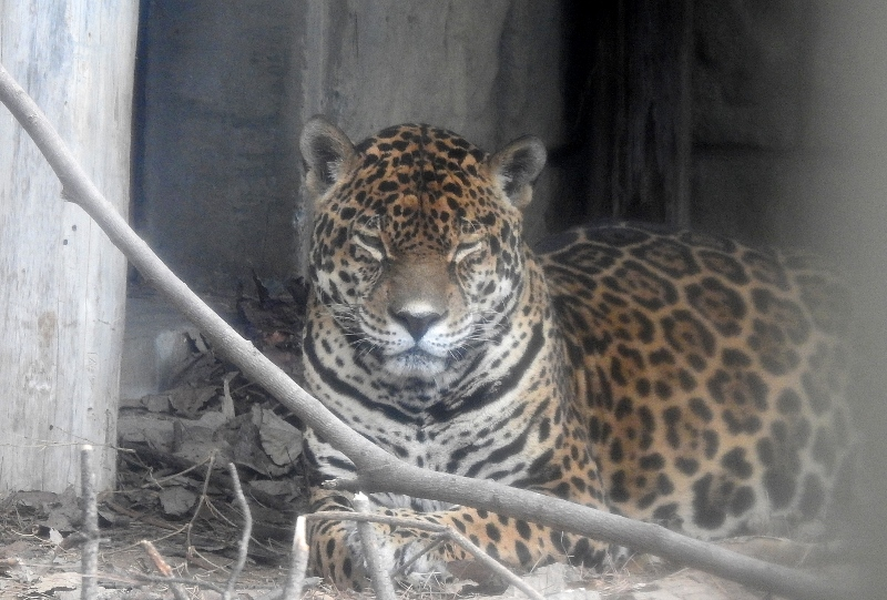 ジャガー1z