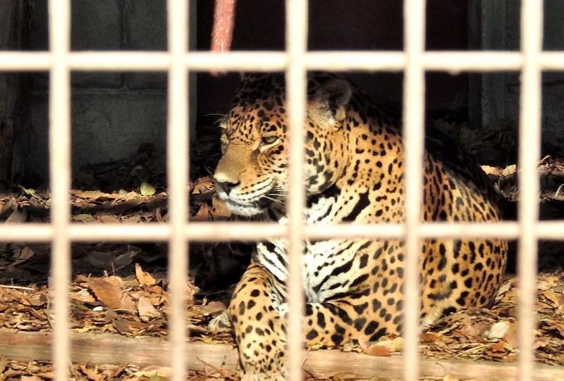 ジャガー2z