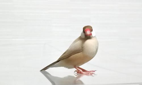 文鳥で遊んでみる_4