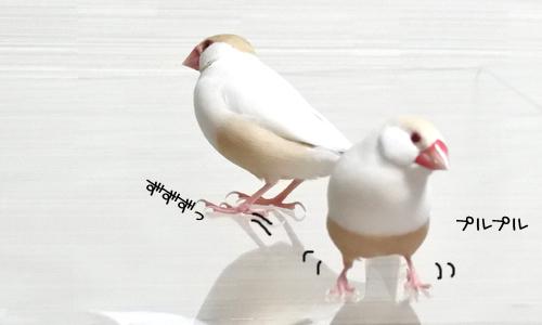 文鳥で遊んでみる_1