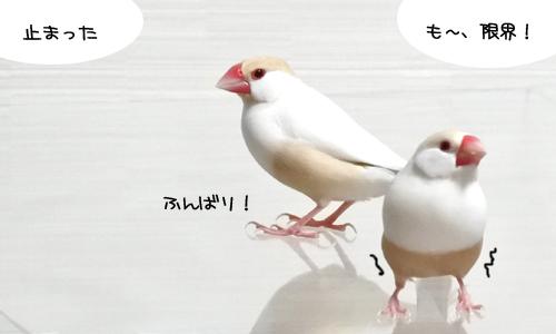 文鳥で遊んでみる_2