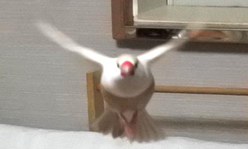 羽ばたき写真は難しい_3