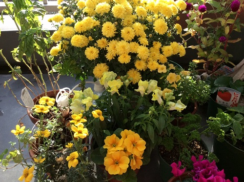 20151108黄色い花