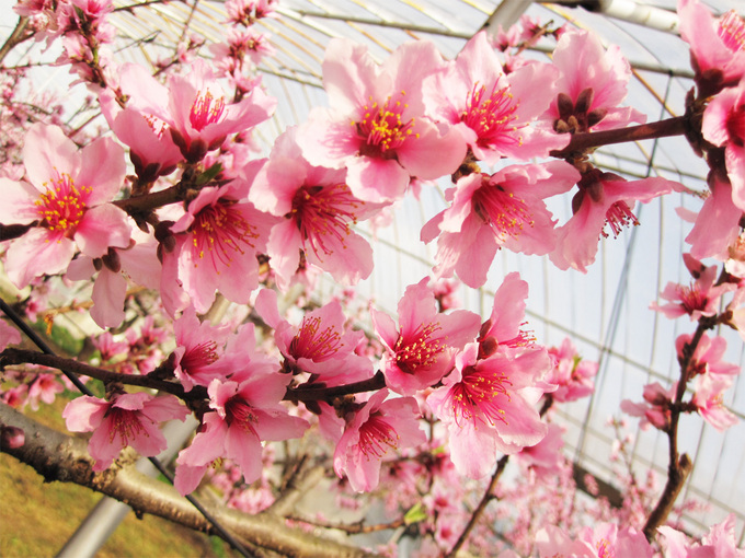 桃の花アップ IMG_3356(2)