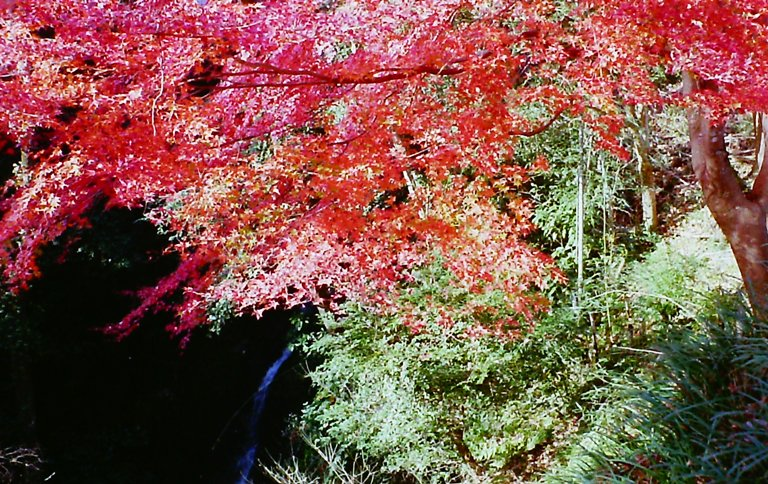 紅葉-長篠城跡