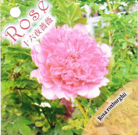 十六夜薔薇