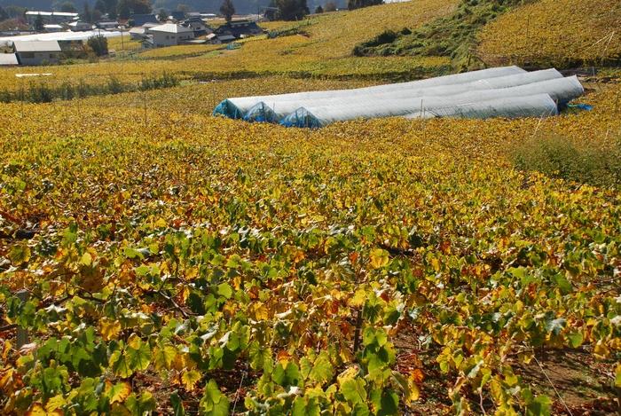 葡萄棚の黄葉11