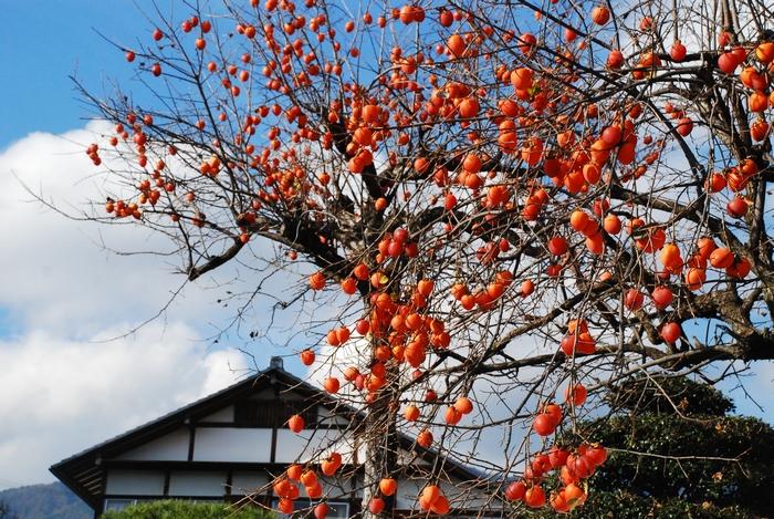 柿の木のある風景15