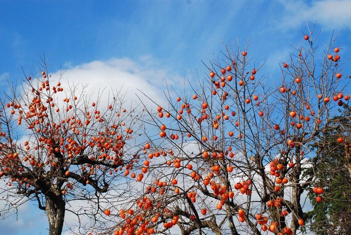 柿の木のある風景16