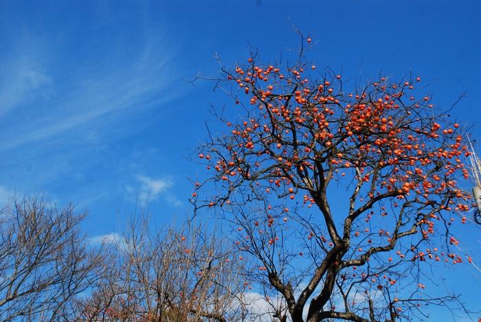 柿の木のある風景23