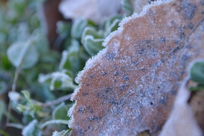 小楢の落ち葉と霜22