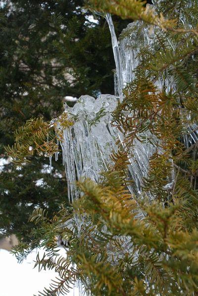 イチイの木にツララ25