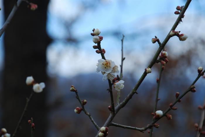 小梅の花が咲いた10