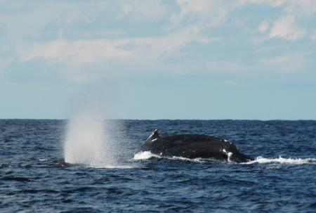 2016.02.28 ザトウクジラ2