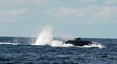 2016.02.28 ザトウクジラ3