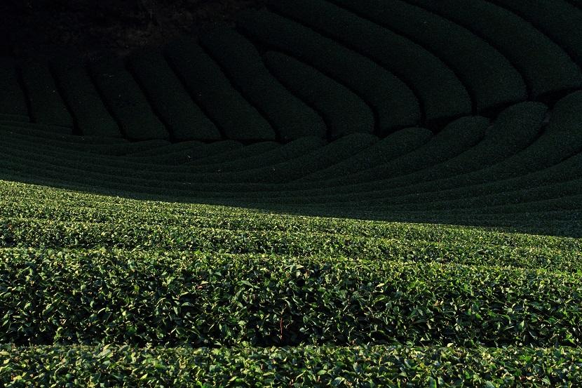和束町茶畑、1