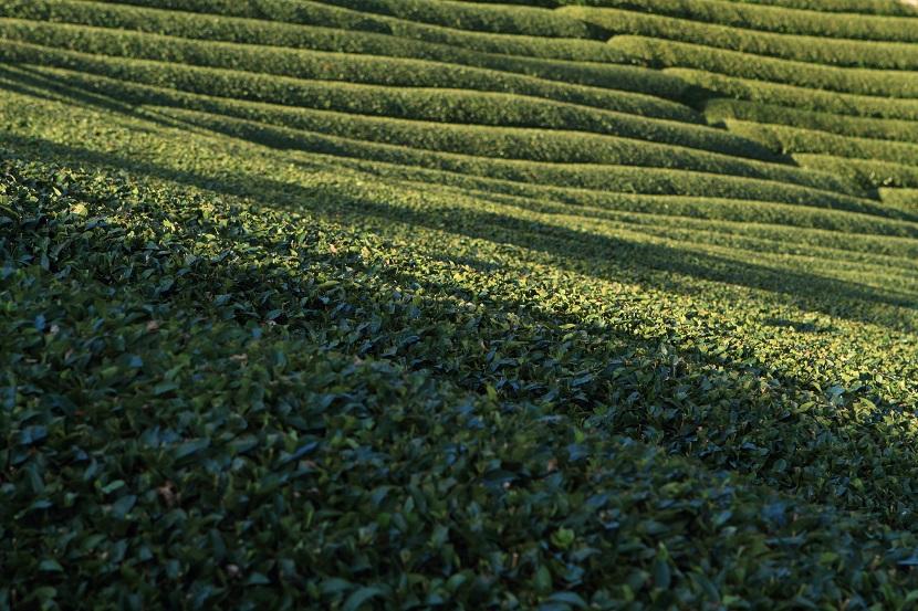 和束町茶畑、2