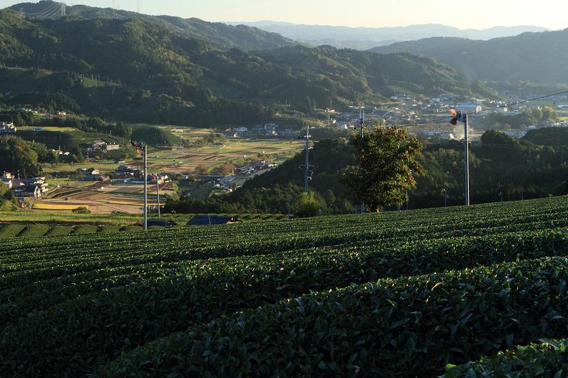 和束町茶畑、3