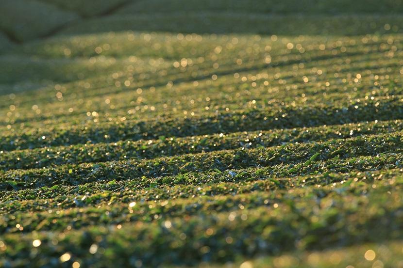 和束町茶畑、5