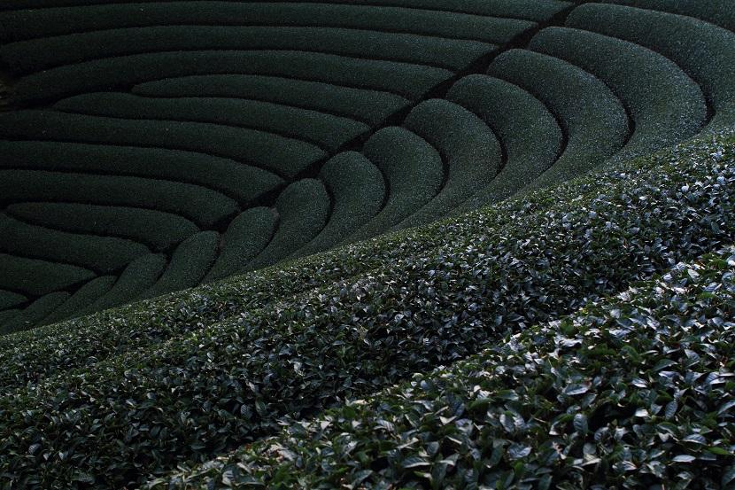 和束町茶畑、8
