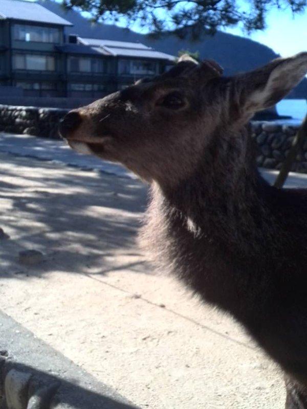 厳島神社をうろつく鹿さん達