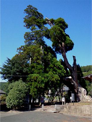 oguni-amida-sugi-2.jpg