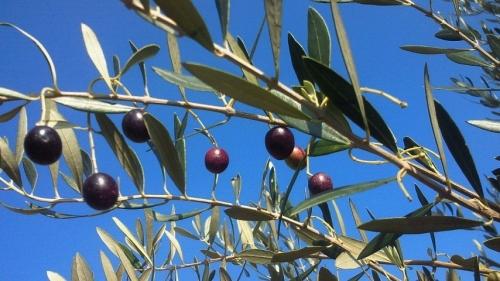 オリーブ収穫祭 (4)