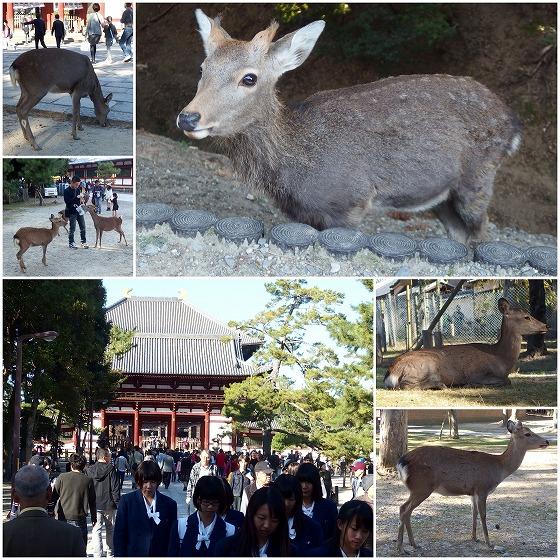 151025奈良クラス会東大寺鹿