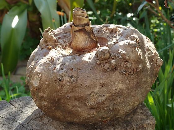 160114コンニャク芋