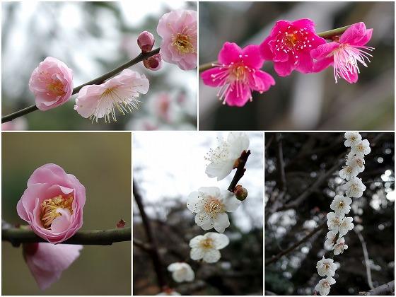 160222小石川後楽園の梅