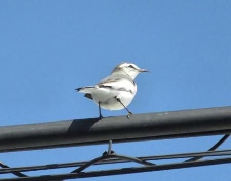 紋付鳥 037