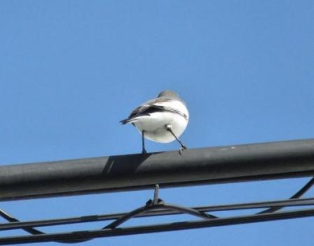 紋付鳥 036