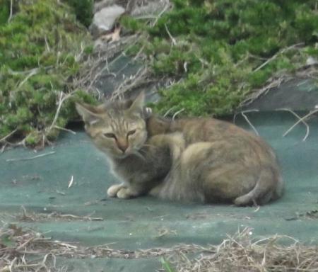 猫・ジョウビタキ 042