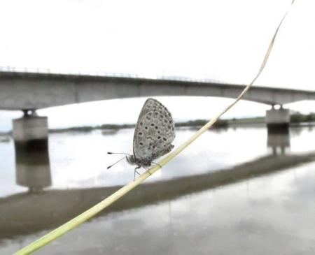 下田の渡し蝶 089