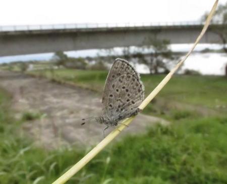 下田の渡し蝶 087