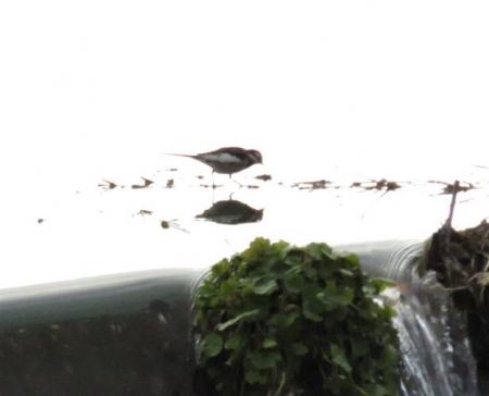 知らない野鳥 057