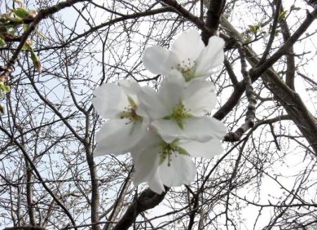 白い桜の花 013