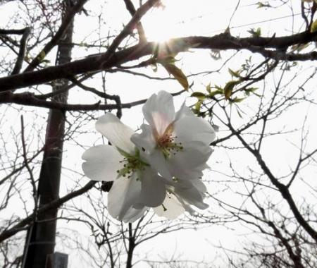 白い桜の花 041