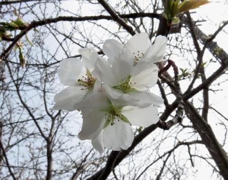 白い桜の花 016