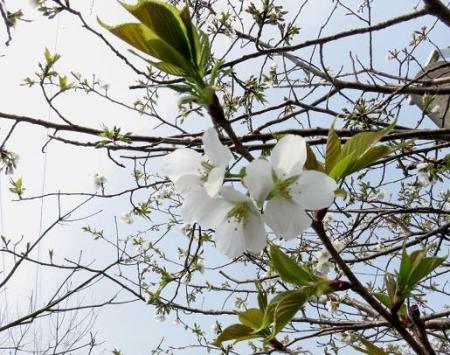 白い桜の花 012
