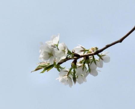 白い桜の花 020