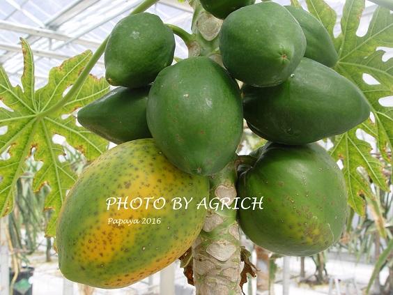 papaya2016f