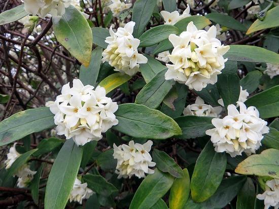 白花の沈丁花