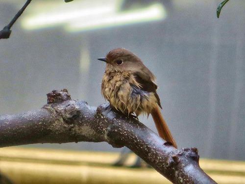 時雨に濡れた小鳥
